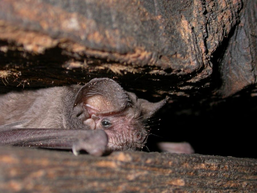Free-tailed bats are common species on campus.
