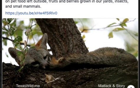 This gray fox was found napping in a tree outside one of WTAMU's buildings and some students are able to capture this animal on video having a peaceful rest.